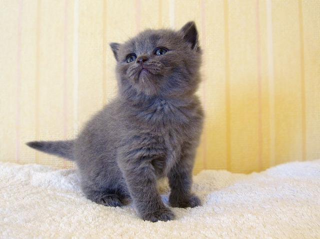 british short hair kittens for adoption   launceston
