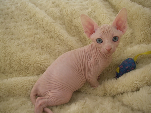 Sphynx Cats Free To Good Home