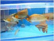 DECORATIVE AROWANA FISHES