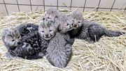 Baby Cheetahs,  Panthers and King Cheetah cubs for sale