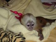 ADORABLE CAPUCHIN MONKEYS PERFECT GIFT(nuala.powell@live.com)